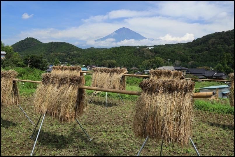 稲刈りの季節です_a0188405_14505338.jpg