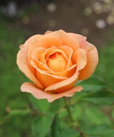 挿し木バラの開花&秋の花_e0341606_17100395.jpg