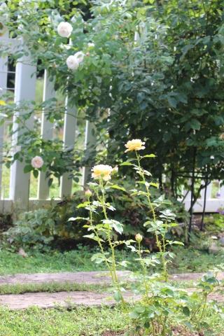 挿し木バラの開花&秋の花_e0341606_17144712.jpg