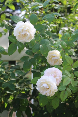 挿し木バラの開花&秋の花_e0341606_17162367.jpg