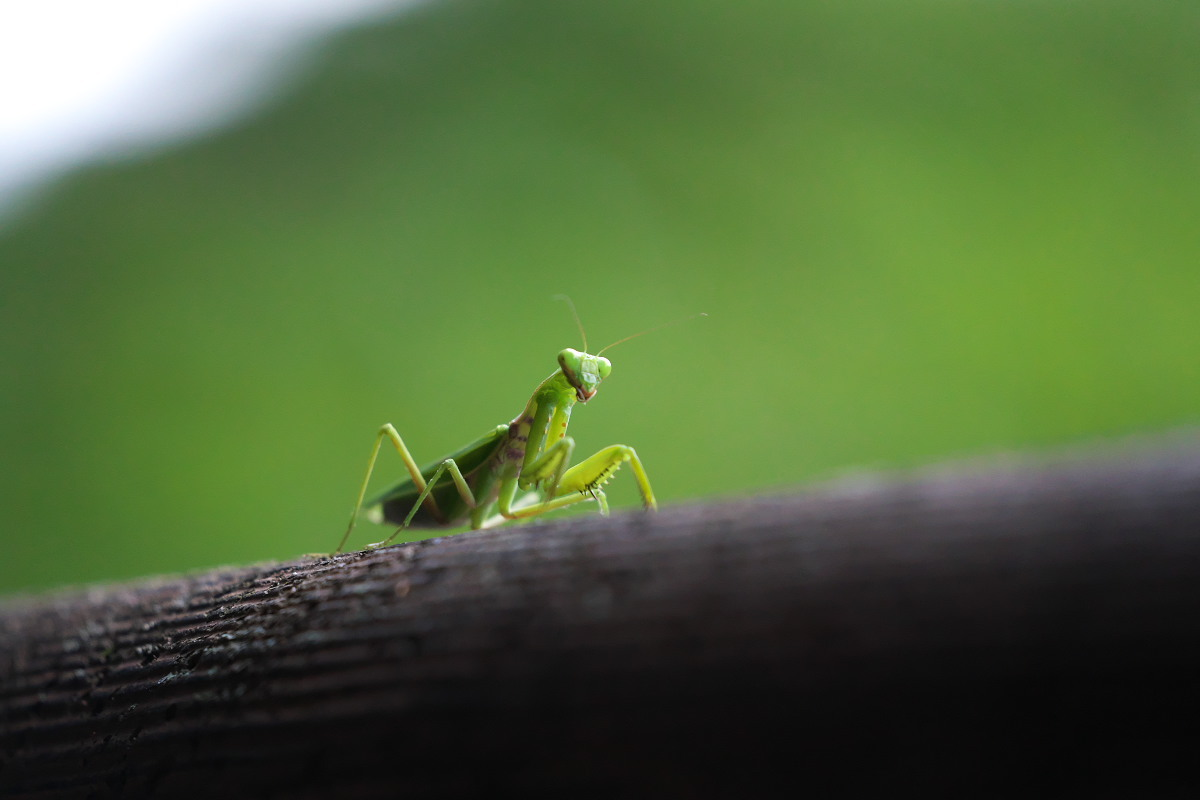 ピエロの如く ハラビロカマキリ(腹広蟷螂)他 : 身近な自然を撮る