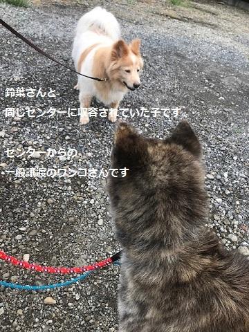 来ました、秋田犬♪_f0242002_13072336.jpg