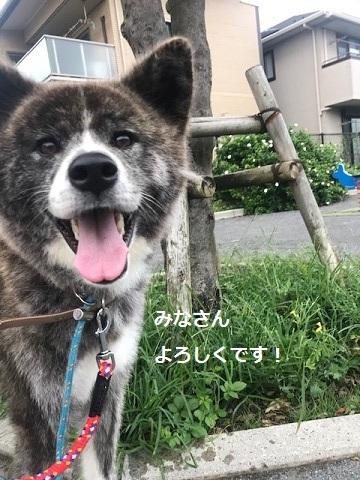来ました、秋田犬♪_f0242002_13102483.jpg