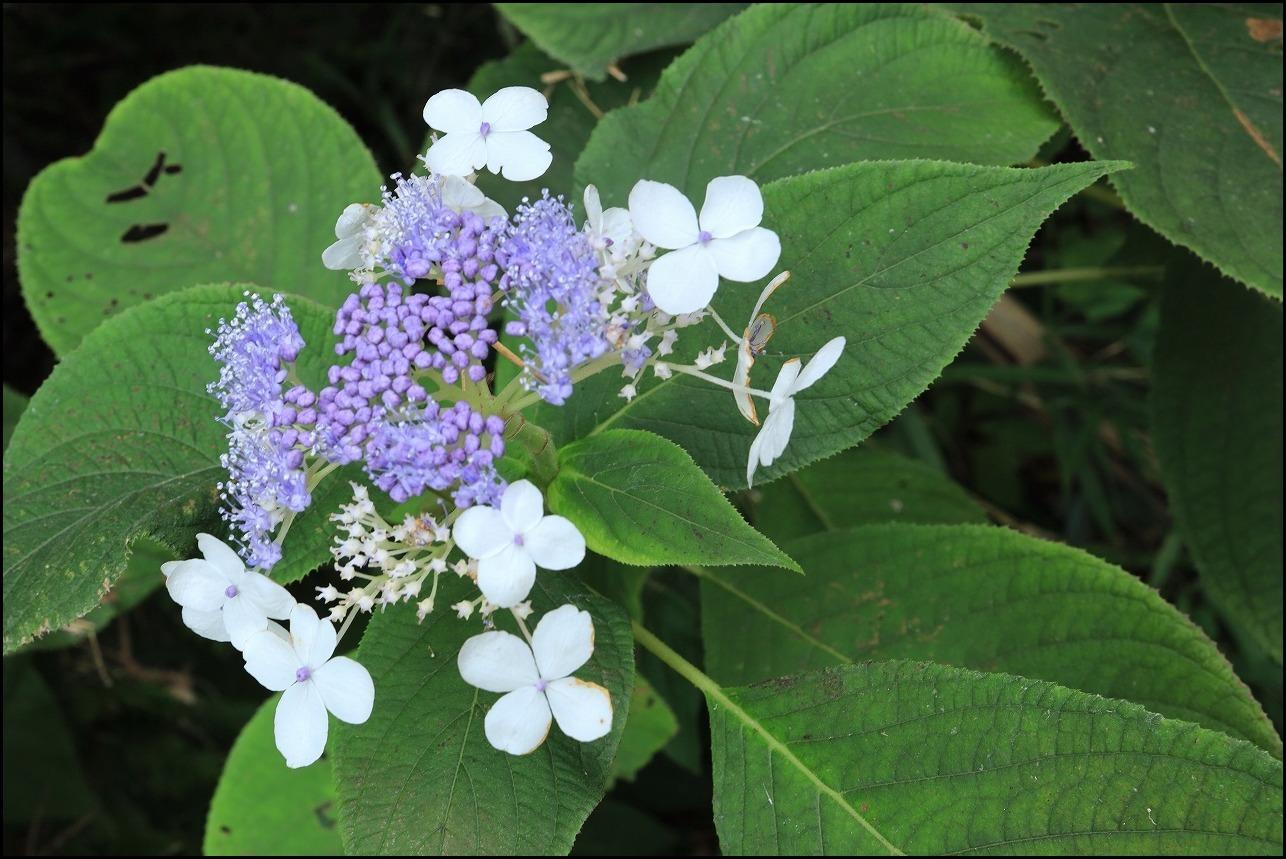 山アジサイの花で舞うアサギマダラ_a0188405_19214668.jpg