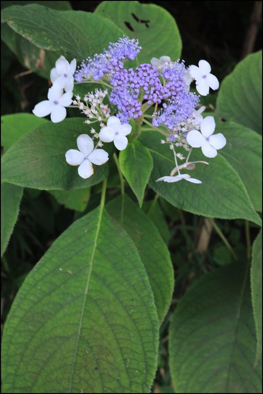 山アジサイの花で舞うアサギマダラ_a0188405_19215775.jpg