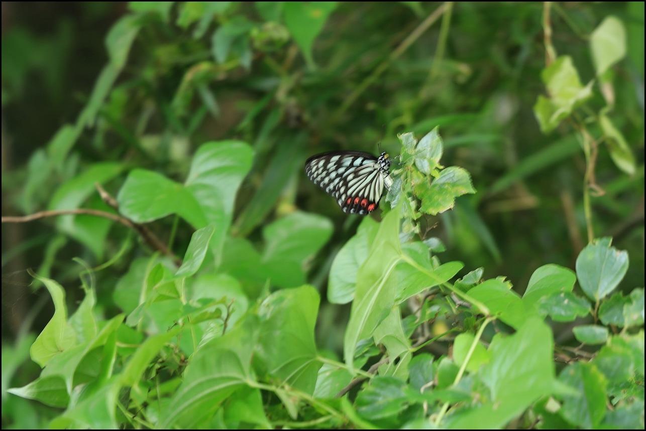 山アジサイの花で舞うアサギマダラ_a0188405_19223040.jpg