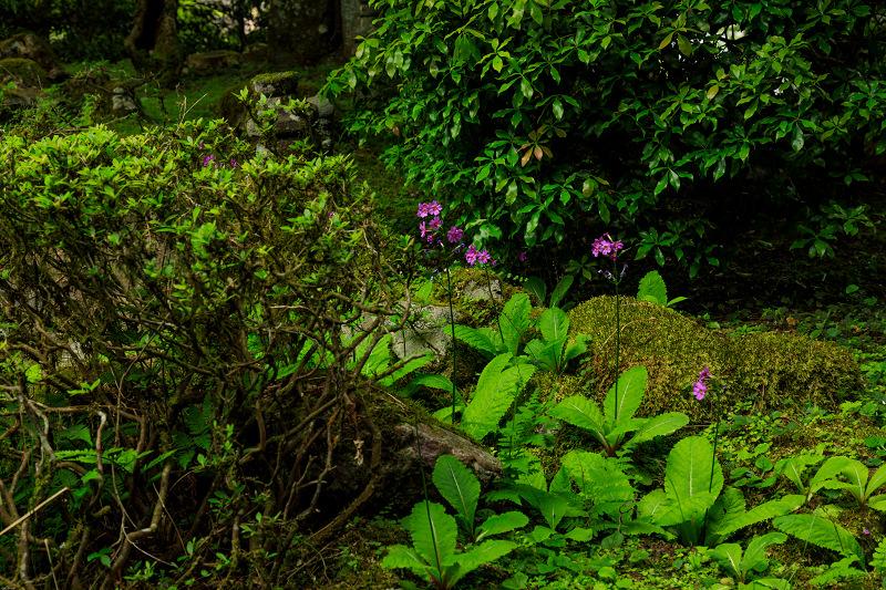 九輪草咲く地蔵院_f0155048_0164349.jpg