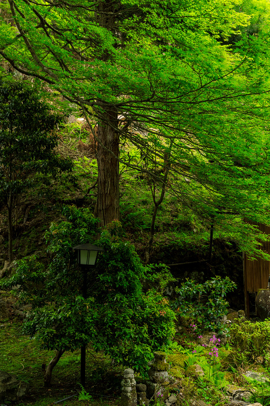 九輪草咲く地蔵院_f0155048_0172059.jpg