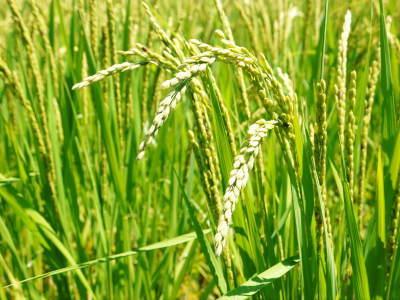 無農薬栽培のひのひかり100%使用の『米粉』大好評販売中!平成30年度のお米も元気に成長中!_a0254656_17301911.jpg