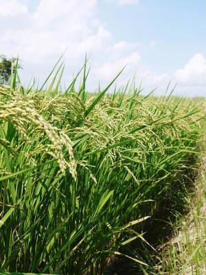 無農薬栽培のひのひかり100%使用の『米粉』おかげさまで売れてます!令和元年度のお米も元気に成長中!_a0254656_17334792.jpg
