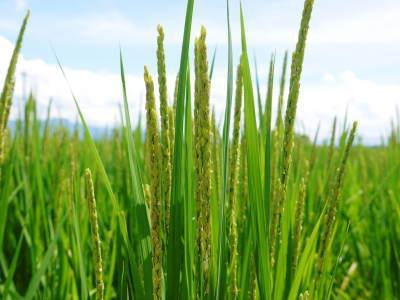無農薬栽培のひのひかり100%使用の『米粉』おかげさまで売れてます!令和元年度のお米も元気に成長中!_a0254656_17493380.jpg
