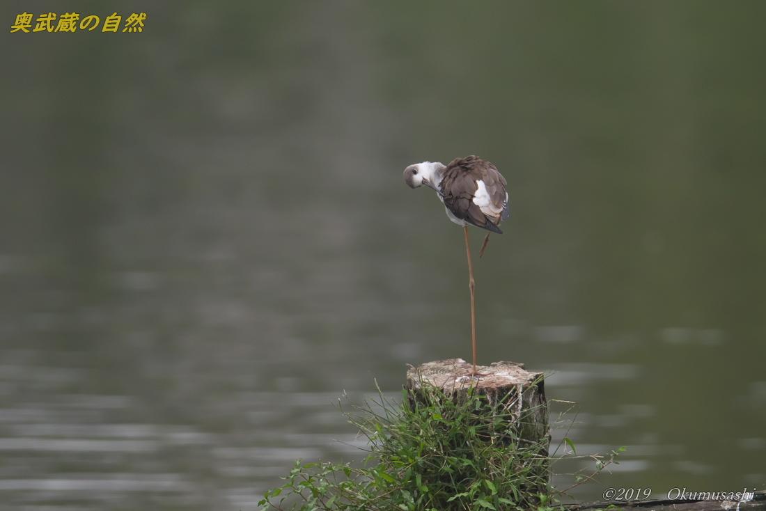 沼のセイタカシギ_e0268015_18361685.jpg
