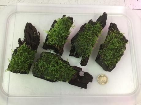 190912 熱帯魚 金魚 めだか 水草_f0189122_12331037.jpeg