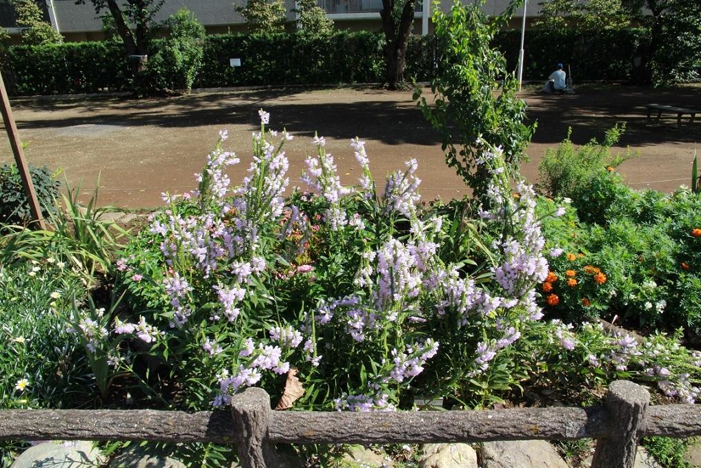 ハナトラノオ ~福岡中央公園~_a0107574_09340734.jpg