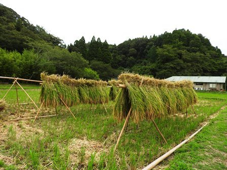 モチ田の稲刈り_a0123836_09484960.jpg