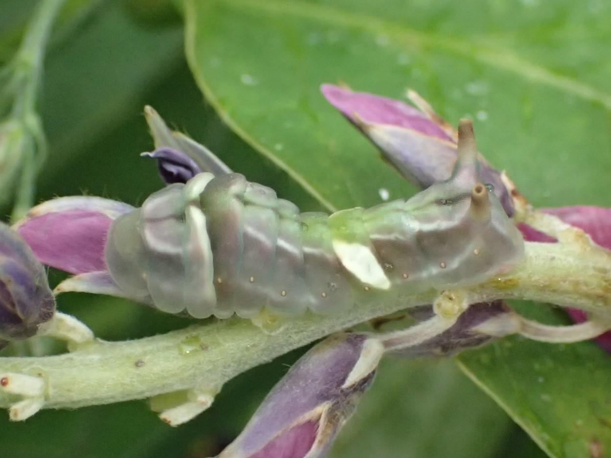 ウラギンシジミの幼虫 Curetis acuta_c0208989_19593699.jpg
