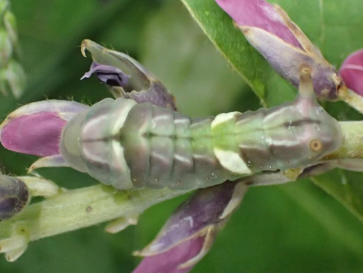 ウラギンシジミの幼虫 Curetis acuta_c0208989_20054625.jpg