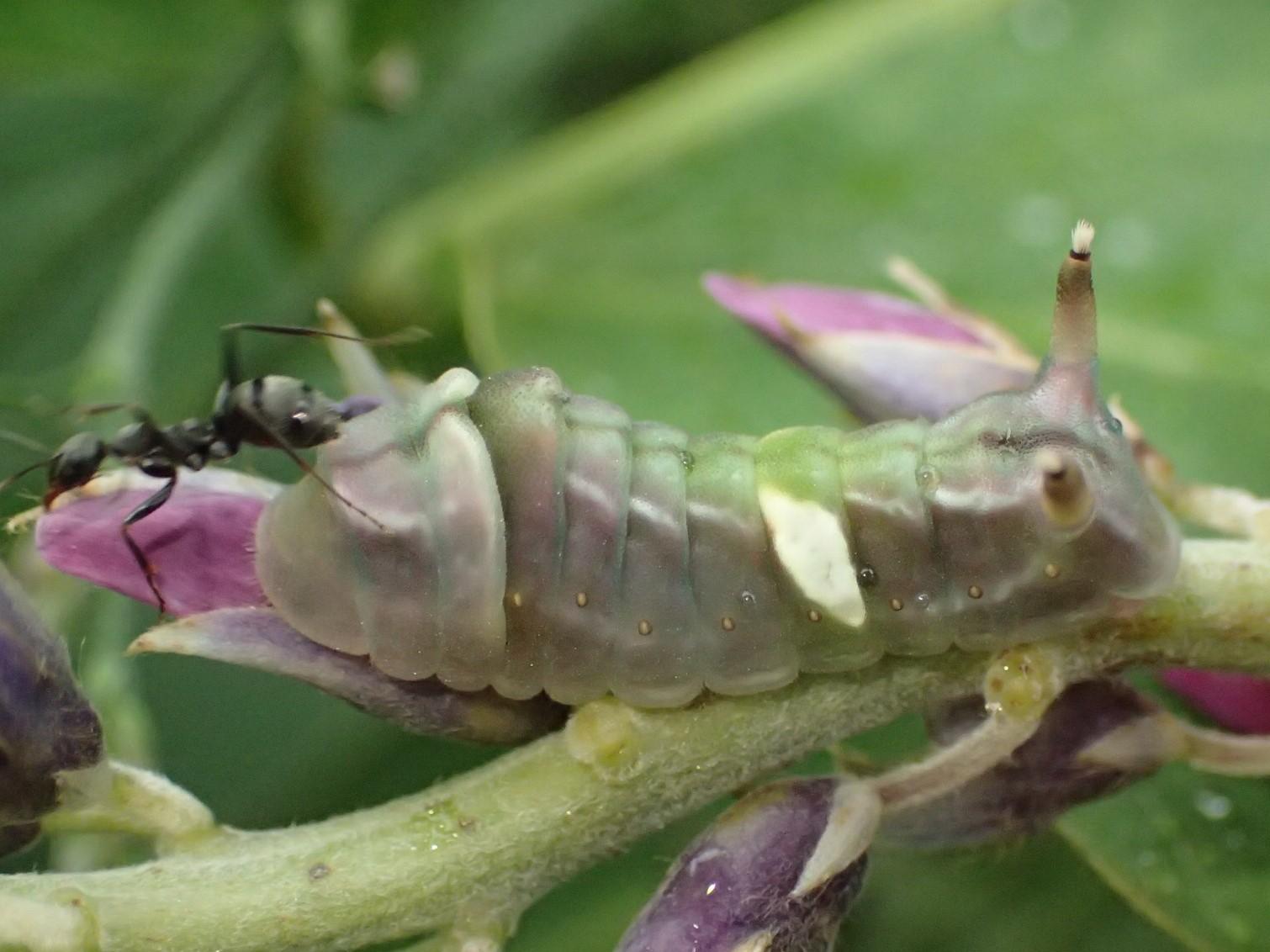 ウラギンシジミの幼虫 Curetis acuta_c0208989_20071337.jpg