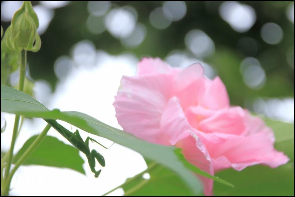 白~ピンク~赤に3変化します_a0188405_21124252.jpg