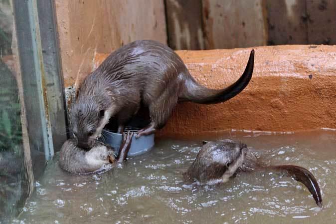 コツメカワウソの六つ子たち!仁義なきポジション争い~食事の時間(埼玉県こども動物自然公園)_b0355317_22002322.jpg