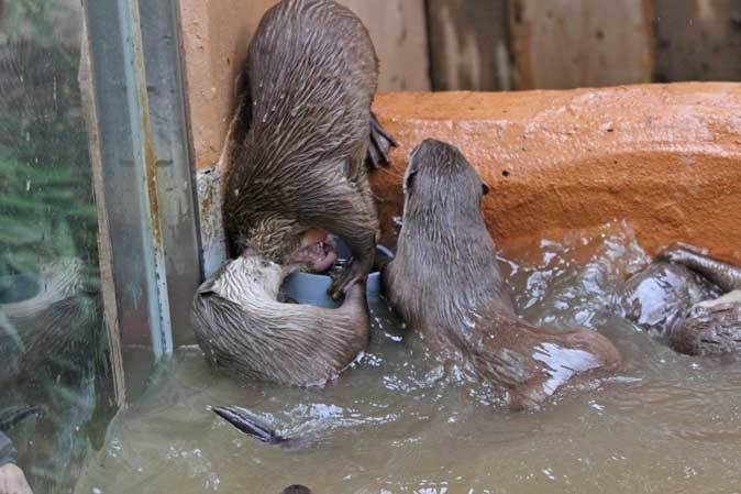 コツメカワウソの六つ子たち!仁義なきポジション争い~食事の時間(埼玉県こども動物自然公園)_b0355317_22112293.jpg