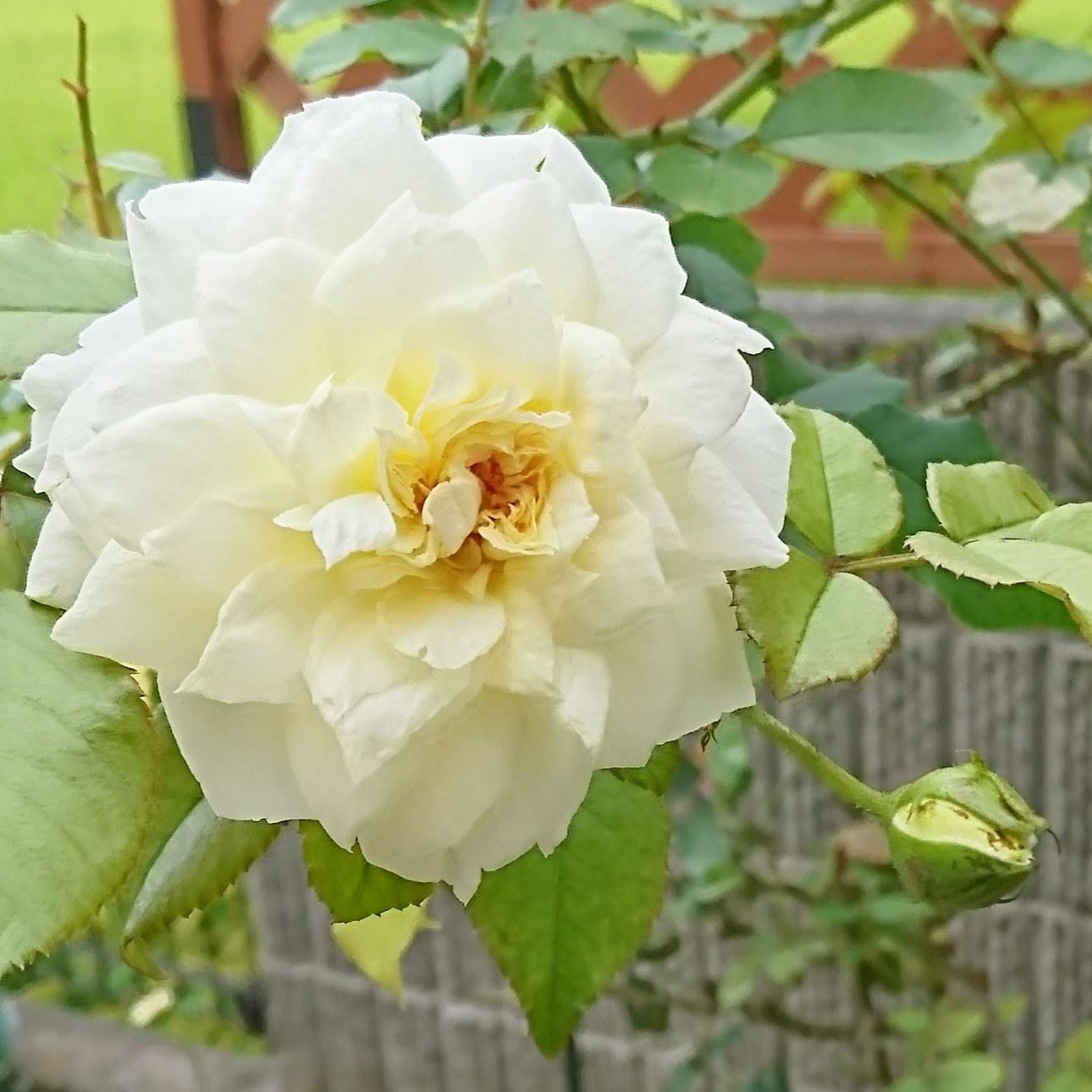 ++薔薇をスッキリさせました*++_e0354456_09292584.jpg