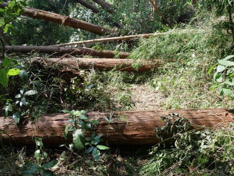 【台風15号の六国見山被害詳報】②スギの巨木群赤道に根こそぎ倒れる_c0014967_13184876.jpg