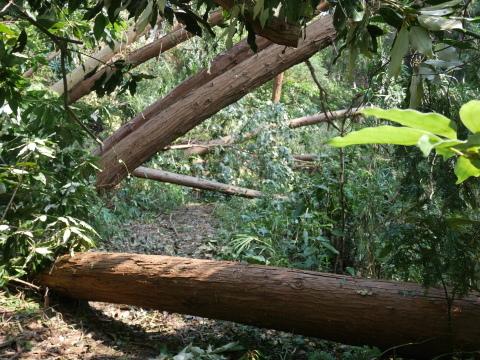 【台風15号の六国見山被害詳報】②スギの巨木群赤道に根こそぎ倒れる_c0014967_13200433.jpg
