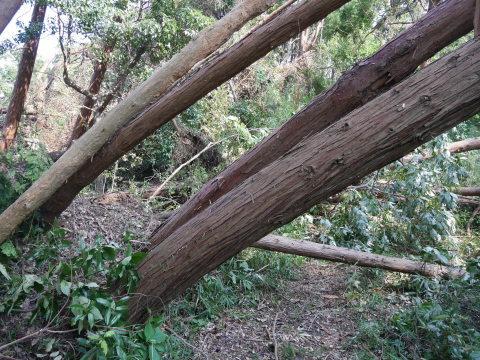 【台風15号の六国見山被害詳報】②スギの巨木群赤道に根こそぎ倒れる_c0014967_13203405.jpg
