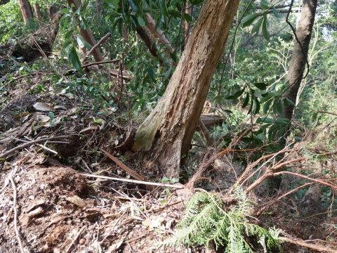 【台風15号の六国見山被害詳報】②スギの巨木群赤道に根こそぎ倒れる_c0014967_13212785.jpg
