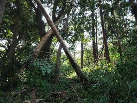 【台風15号の六国見山被害詳報】②スギの巨木群赤道に根こそぎ倒れる_c0014967_13270619.jpg