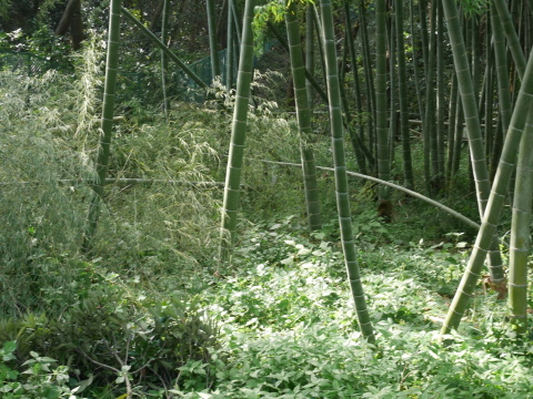 【台風15号の六国見山被害詳報】②スギの巨木群赤道に根こそぎ倒れる_c0014967_13300100.jpg