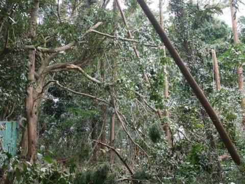 【台風15号の六国見山被害詳報】②スギの巨木群赤道に根こそぎ倒れる_c0014967_13312708.jpg
