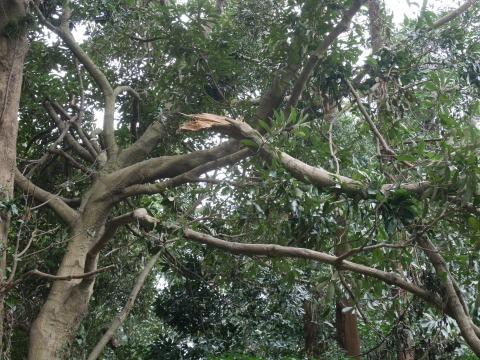 【台風15号の六国見山被害詳報】②スギの巨木群赤道に根こそぎ倒れる_c0014967_13313867.jpg