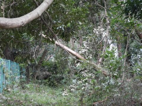 【台風15号の六国見山被害詳報】②スギの巨木群赤道に根こそぎ倒れる_c0014967_13315210.jpg