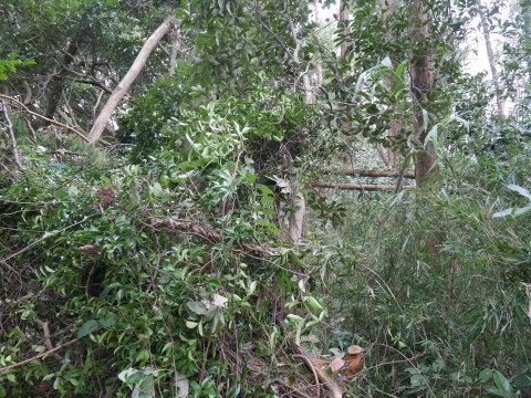【台風15号の六国見山被害詳報】②スギの巨木群赤道に根こそぎ倒れる_c0014967_13322243.jpg