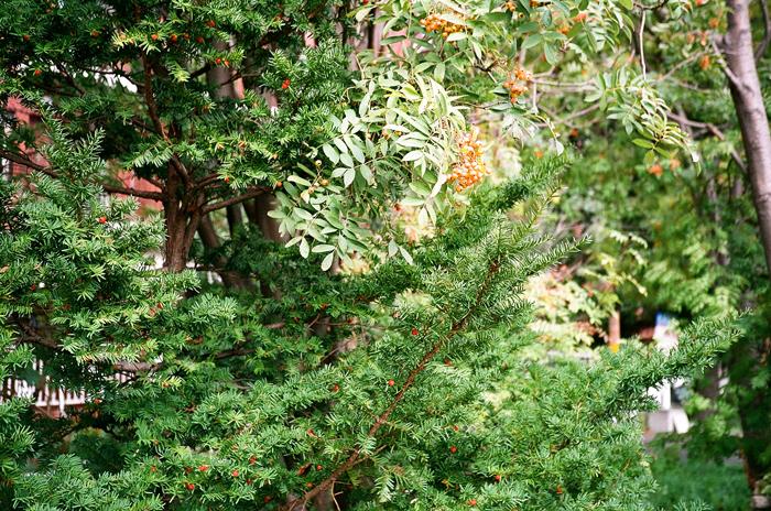 野菊とナナカマドの実とイチイの実とコスモス_c0182775_17295929.jpg
