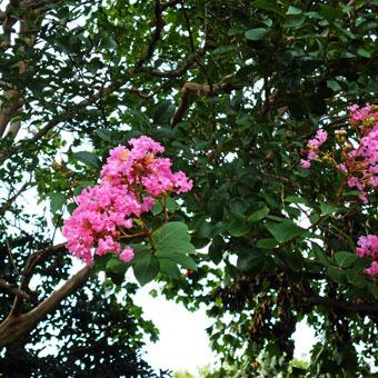 緑道のザクロの実とサルスベリの花_c0195909_16353707.jpg