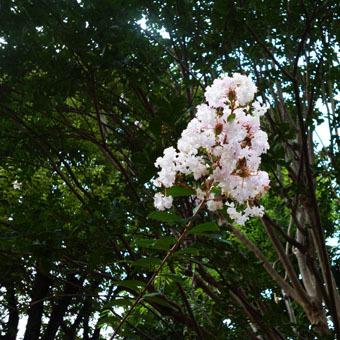 緑道のザクロの実とサルスベリの花_c0195909_16354130.jpg
