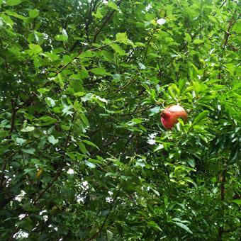 緑道のザクロの実とサルスベリの花_c0195909_16354674.jpg