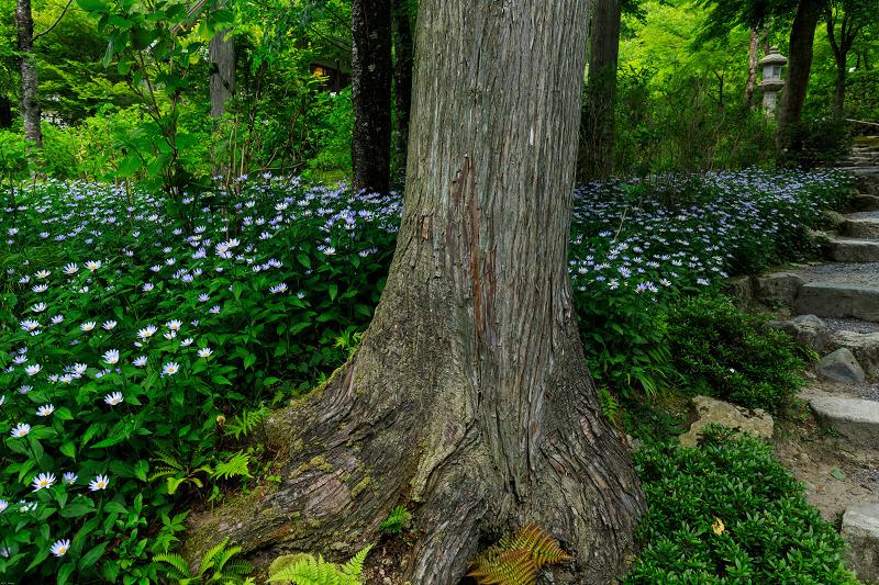 大原菊と春の花咲く三千院_f0155048_21514768.jpg
