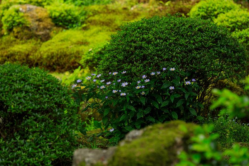 大原菊と春の花咲く三千院_f0155048_21532340.jpg