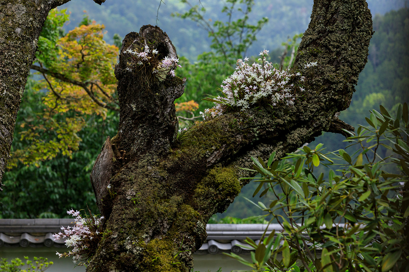 大原菊と春の花咲く三千院_f0155048_21542358.jpg