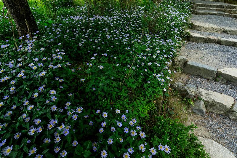 大原菊と春の花咲く三千院_f0155048_21555763.jpg