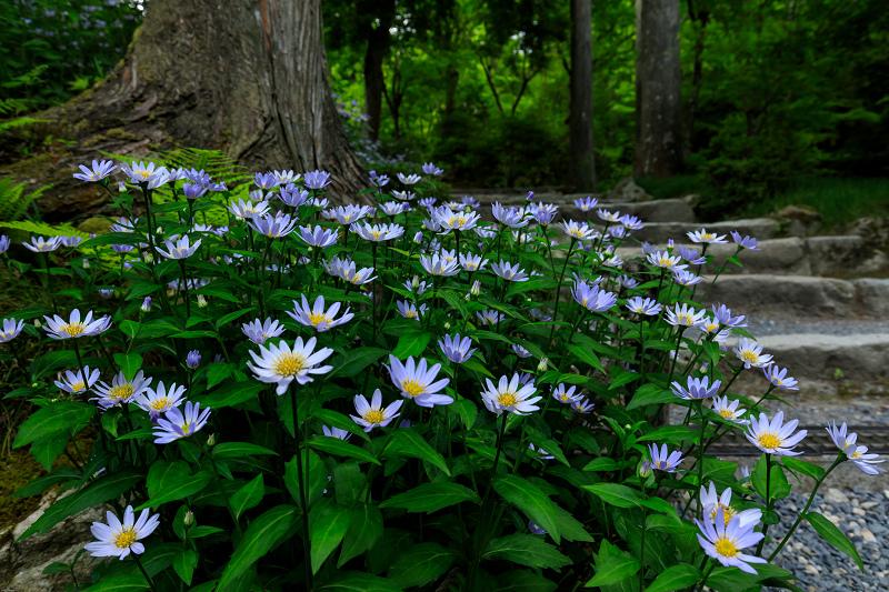 大原菊と春の花咲く三千院_f0155048_21562514.jpg