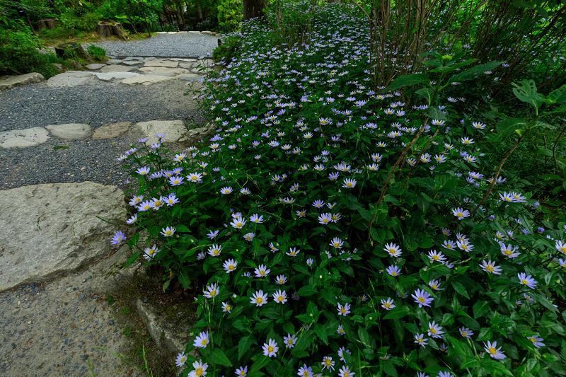 大原菊と春の花咲く三千院_f0155048_21565418.jpg