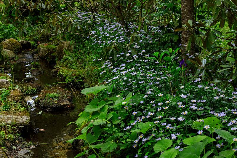 大原菊と春の花咲く三千院_f0155048_21571769.jpg