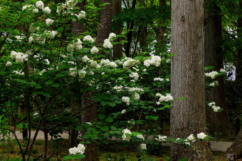 大原菊と春の花咲く三千院_f0155048_21573011.jpg