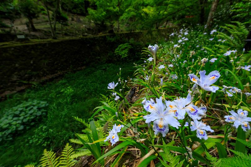 大原菊と春の花咲く三千院_f0155048_2157491.jpg