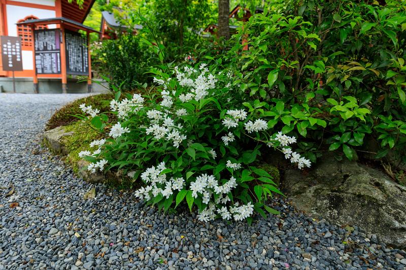 大原菊と春の花咲く三千院_f0155048_2158249.jpg